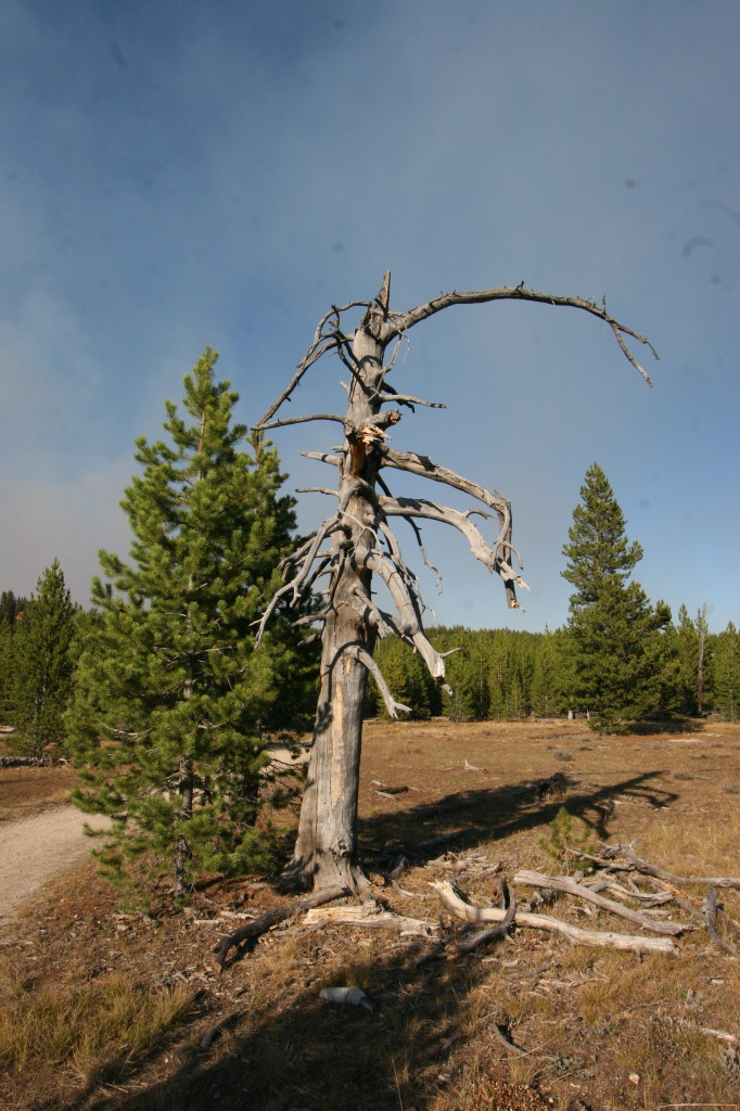A new lodgepole pine grows next to the ruin of a dead one burned decades ago in the fire.