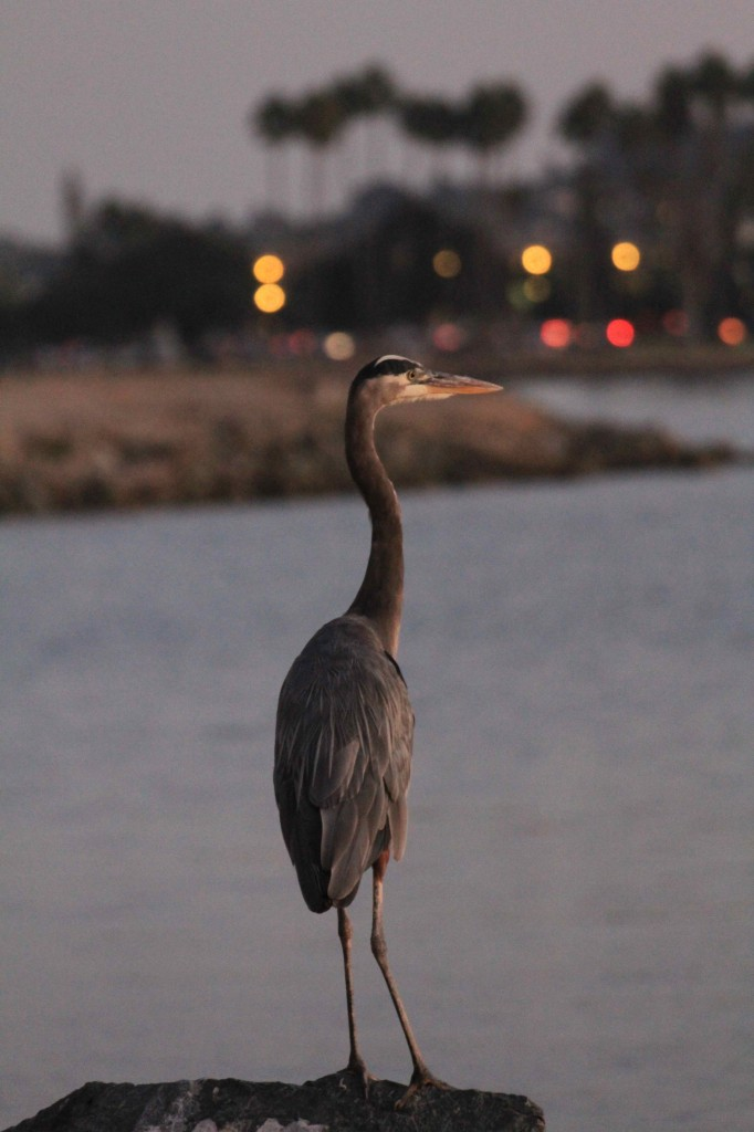 A Great Blue Heron hunts for fish at the edge of the lagoon at Paradise Point Resort & Spa.