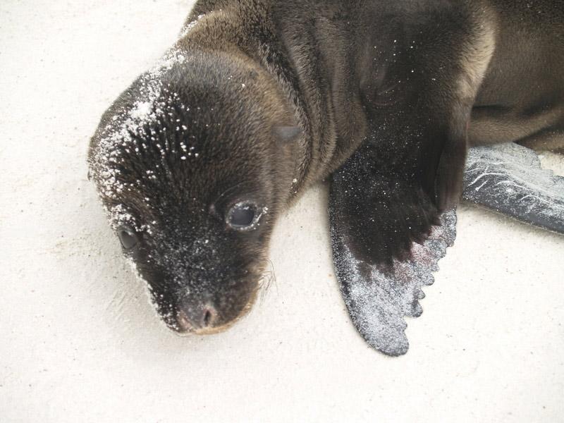 Baby sea lion on beach