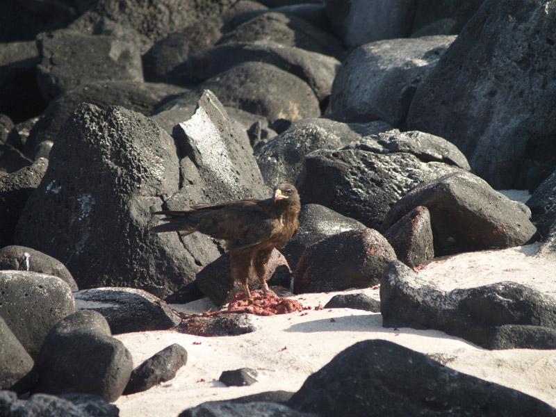 Eagle feeding on beach