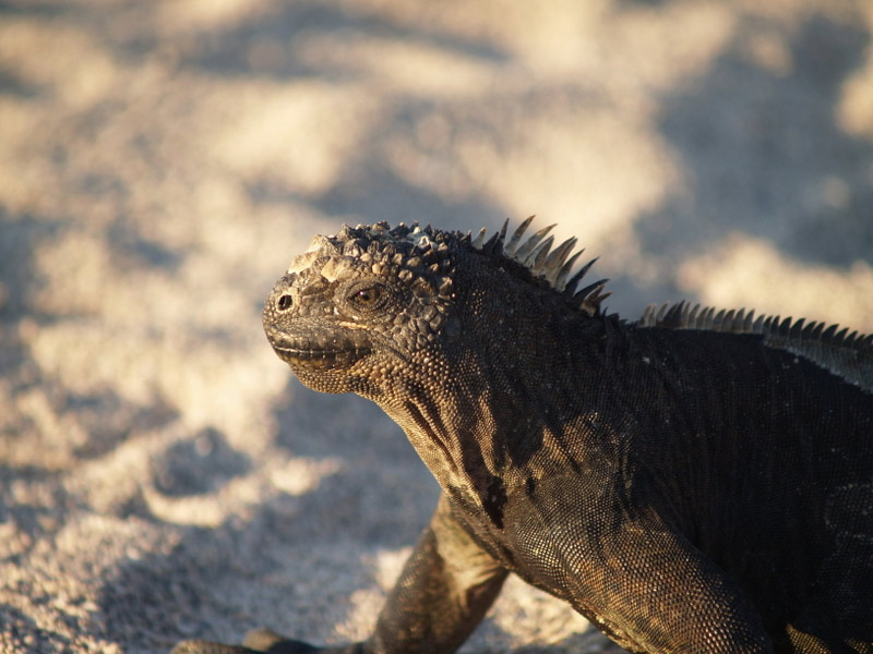 Marine iguanas are the only species that swim for their supper. They are vegetarians.