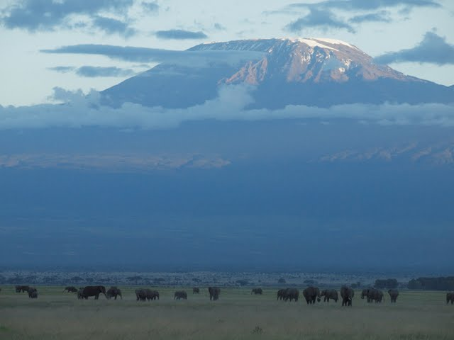 Large herds of elephants are dwarfed by Mount Kilimanjaro in the background in Ambroseli.