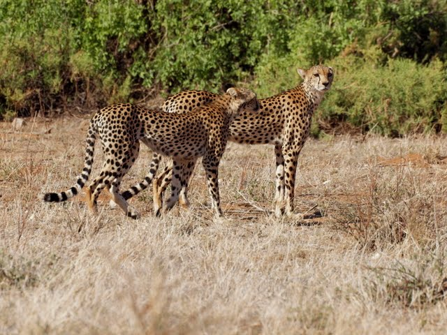 A pair of cheetahs goes hunting with absolutely no concern for the safari vehicles tagging along behind them. They have much smaller heads than the leopards but a much higher cruising speed. ©Kevin Revolinski