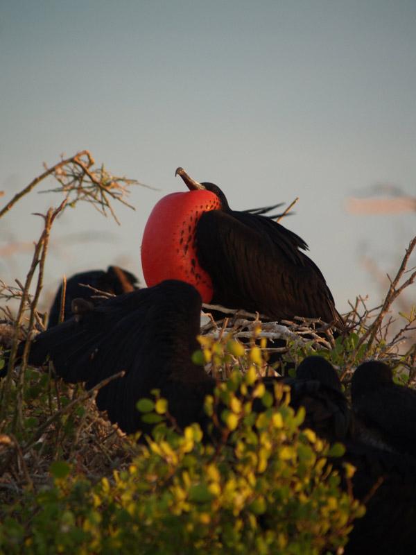Redthroated bird